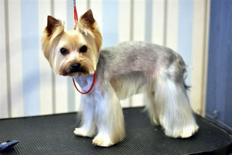 cute yorkie photos haircuts cute short yorkie haircuts www imgkid com the image