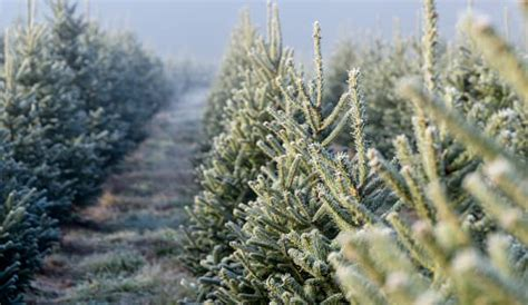 start a christmas tree farm hobby farms