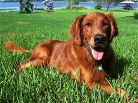 owning golden retriever cost of owning a golden retriever puppy photo