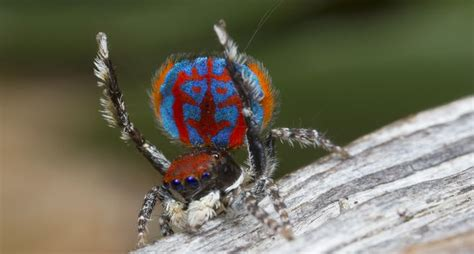 colorful spider 10 and facts about jumping spiders mnn