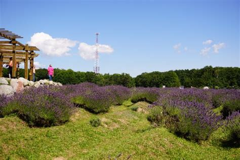 cherry point farm lavender labyrinth picture of cherry point farm and