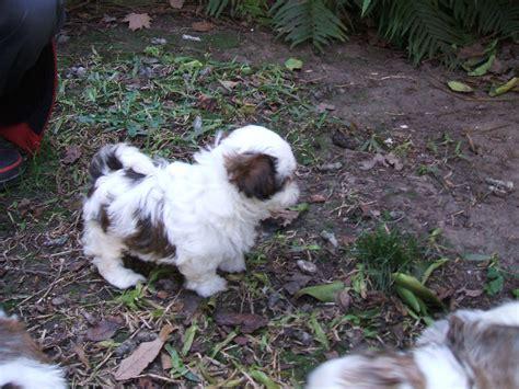 cachorros shih tzu miniatura de perros miniaturas cachorros shih tzu