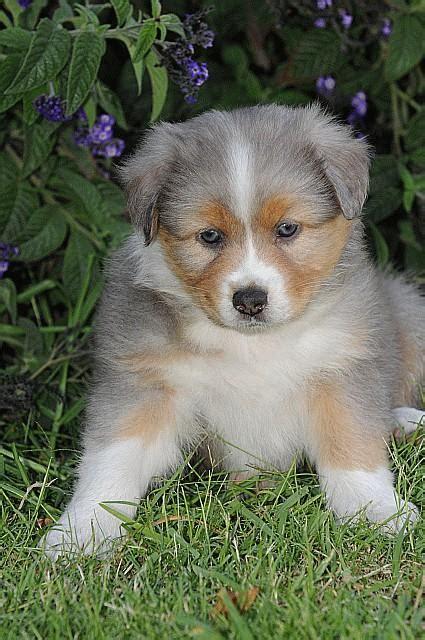 australian german shepherd puppy petyourdog pet your german australian shepherd with gray fur with and