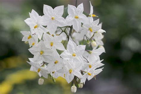 Garten Pflanzen Richtig Schneiden by Pflanze Richtig Schneiden Jasminum Officinale