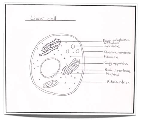 sketch and label a section of the cell membrane ib biology notes 2 3 eukaryotic cells