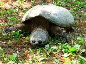 ficha de cuidados tortuga lagarto o mordedora tortuga mordedora o lagarto chelydra serpentina