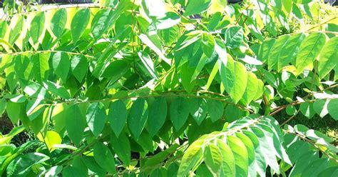 Benih Buah Delima Hitam bumi hijau nursery 002279488 d benih pokok cermai