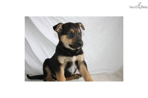 blue heeler german shepherd mix puppy blue heeler german shepherd mix puppies myideasbedroom
