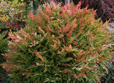 shrubs for shade zone 6 562 best images about shrubs on white flowers hedges and cedrus deodara