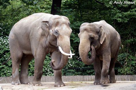 asiatische bilder asiatischer elefant tier fotos eu