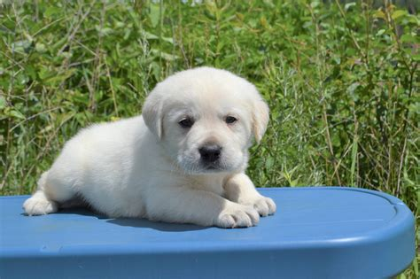 white lab puppies for sale in wisconsin white lab puppies for sale limited of akc winter valley labs mlk
