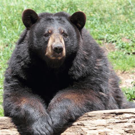 imagenes oso negro zool 243 gico oso negro americano