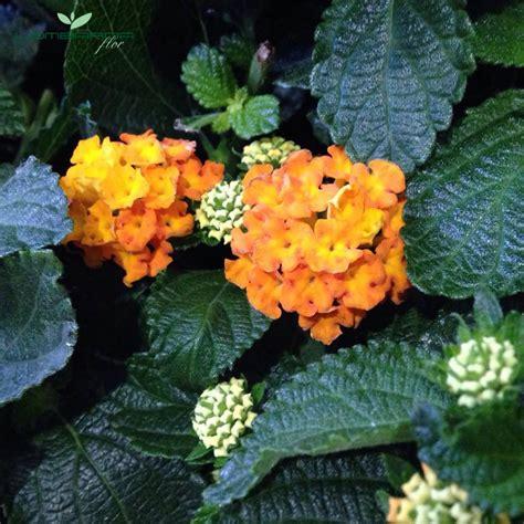 piante infestanti giardino 5 piante infestanti decorative per il giardino lombarda flor