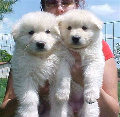 ayers long coat german shepherds  puppies