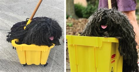 mop dogs owner dresses hungarian puli pooch as a mop for