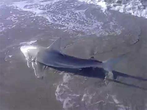 bathtub beach fl shark fishing bathtub beach youtube