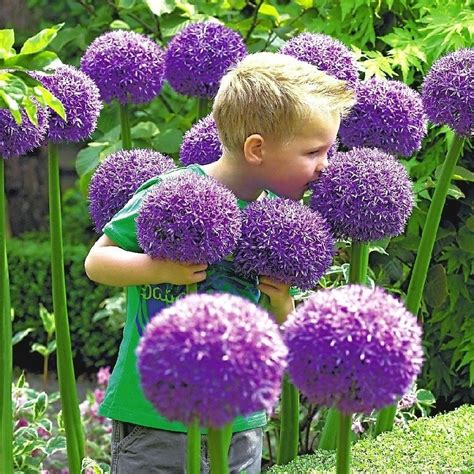 Giant Allium Gladiator Buy In Bulk At Edenbrothers Com Buy Garden Flowers