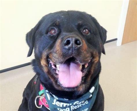 8 year rottweiler shadow 8 year rottweiler for adoption
