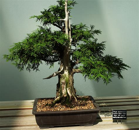 old bonsai tree 45 year old bonsai tree flickr photo sharing