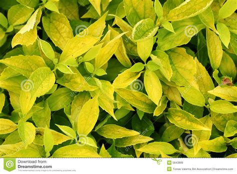 texture of yellow bush leaves royalty free stock images image 5643899