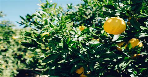 limoni coltivazione in vaso coltivare i limoni a terra e in vaso guida pratica