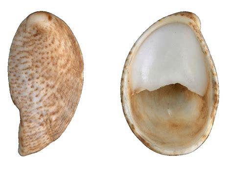 what are slipper shells friends of stokes bay 187 seashells