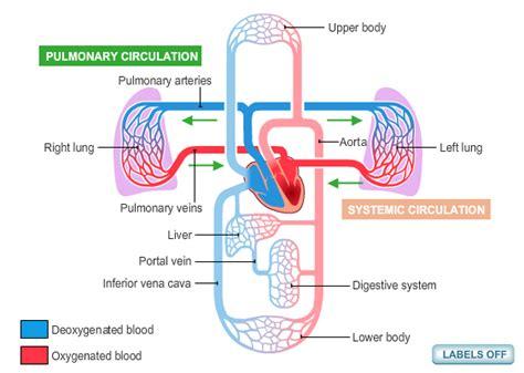 diagram of the circulatory system circulatory system diagram new health advisor
