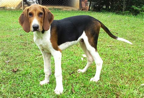 Foxhound Shedding by American Foxhound Picture American Foxhound Photo Animal Pictures Breeds Picture
