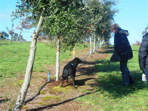 how to your to hunt truffles black cat truffles hunt cooking class melbourne
