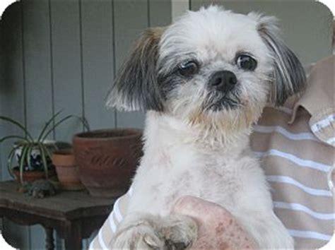 shih tzu puppies for adoption in sacramento ca opie adopted sacramento ca shih tzu