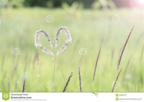 Herbilogy Cogon Grass Alang Alang white grass cogongrass alang alang lalang stock photo image 44286153