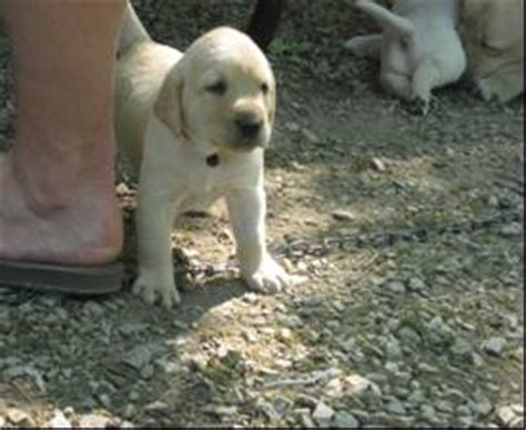 yellow lab puppies for adoption akc yellow lab puppies for sale adoption from green bay wisconsin