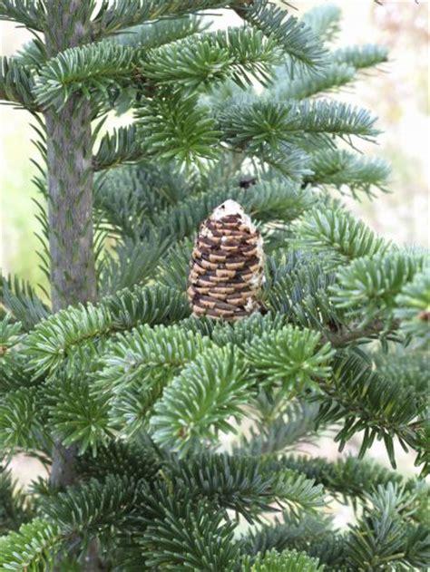 fir tree fraser fir information guide to caring for fraser fir trees