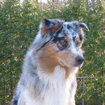 undocked australian shepherd puppies for sale 17 best images about australian shepherds on of the day