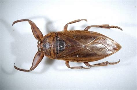 does hot water kill bed bugs how to spot a giant water bug from a cockroach 10 tips