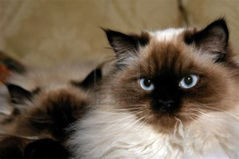 himalayan cats current affairs himalayan cat