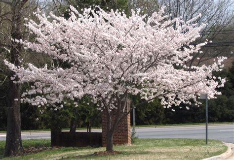 cherry tree growth rate yoshino cherry trees blooming in yoshino cherry tree cherry tree and flowers