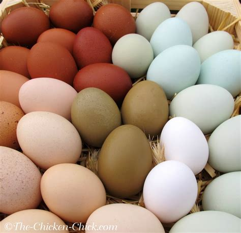 can you color brown eggs best egg laying chickens chicken breeds oklahoma with