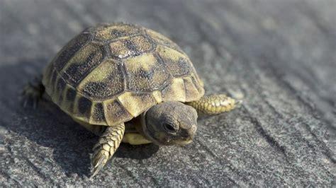 alimentazione tartarughe di terra piccole tartarughe di terra come farla crescere forte e sana in