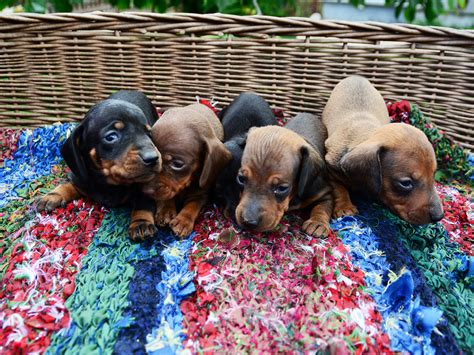 average rottweiler litter size average size of dachshund litter dogs in our photo
