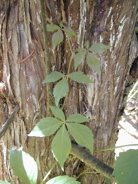 poison ivy oak and sumac information center www poison vines with 5 leaves apparently this is poison ivy