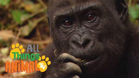 gorilla animals  children kids  kindergarten