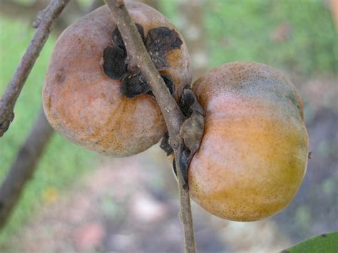 persimmon fruit tree for sale persimmon trees for sale american persimmon trees for sale