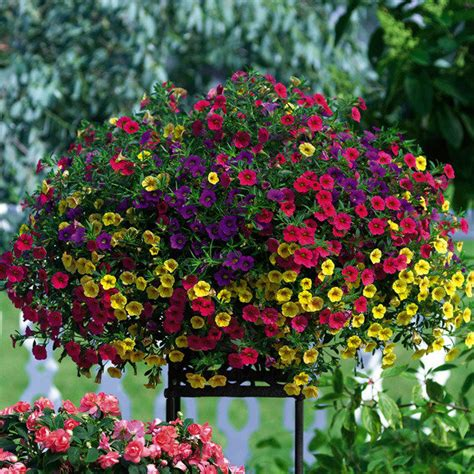 petunien pflanzen ab wann mini petunie celebration 174 karneval g 228 rtner p 246 tschke