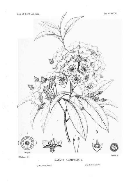 mountain laurel tattoo mountain laurel botanical drawing