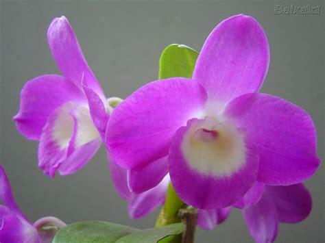 imagenes de orquideas muy bonitas the best images orqu 237 deas as flores mais lindas do mundo