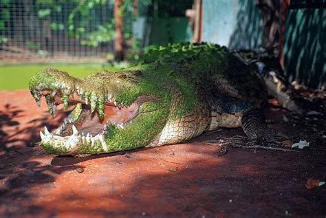 world s the largest crocodile in the world ever recorded www