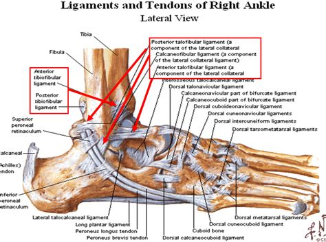 ligaments diagram foot anatomy ligaments human anatomy diagram