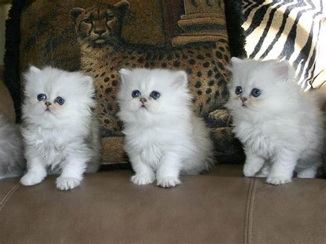 Kucing Umur 2 Bulan Terpercaya Cara Merawat Anak Kucing Umur 1 3 Bulan