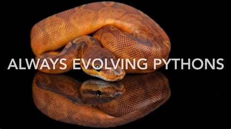 Ball Python Giveaway 2017 - ball python giveaway 2 is here thank you guys so much youtube